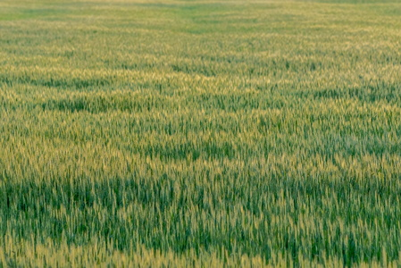 Wheat Field #2