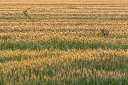 Wheat Field #3