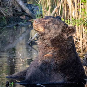 Sunbathing Bear