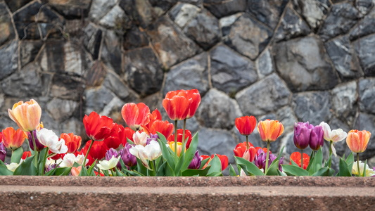 Tulips and Stones