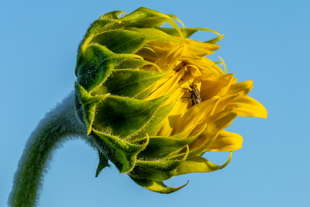 Fly on a Sunflower