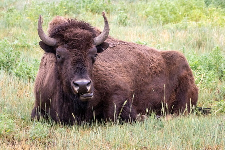Chewing Bison