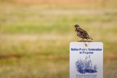 Meadowlark Restoration