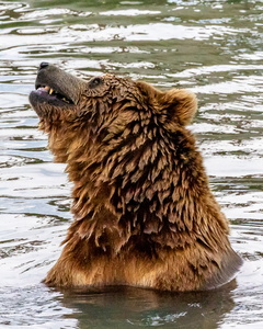 Grizzly in the Water #2