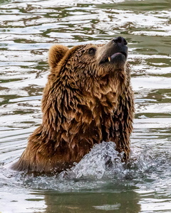 Grizzly in the Water #3