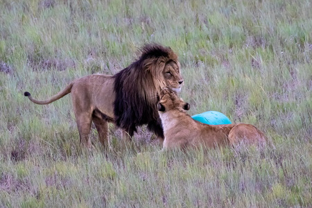 Lions Nuzzling #3