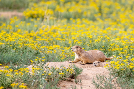 Prairie Dogs and Flowers