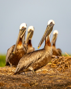 Brown Pelicans in Breeding Colors