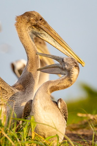 Juvenile Brown Pelicans