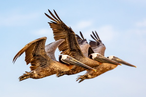 Chesapeake Pelicans