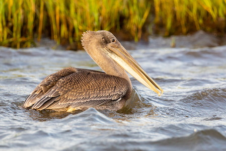 Pelican Swimming #1