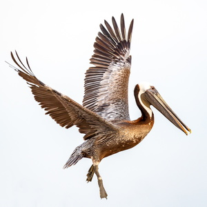 Pelican in Flight #6