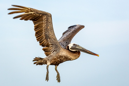 Pelican in Flight #9