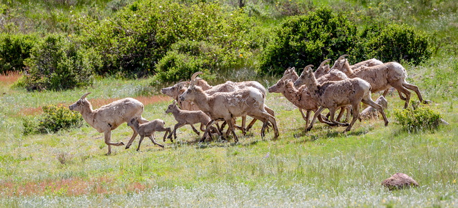 Bighorn Family #2