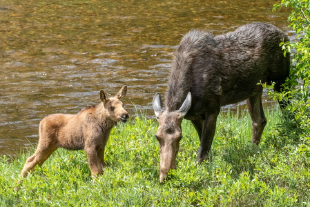 Moose and Calf #2