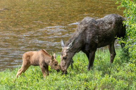 Moose and Calf #3