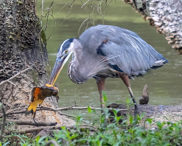 Heron and Fish #1