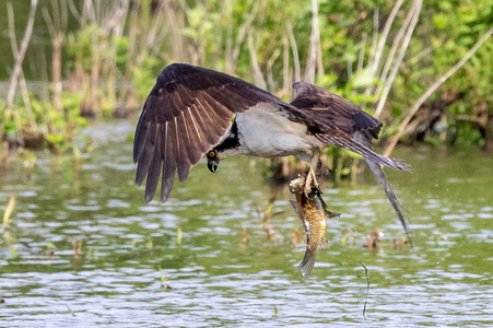 Osprey Catch