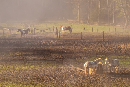 Horses in Morning Fog