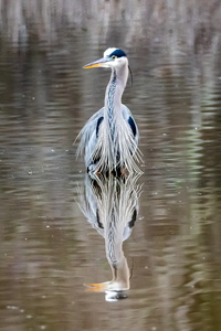 Huntley Heron #2