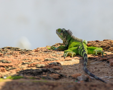 Iguana on the Walls #2