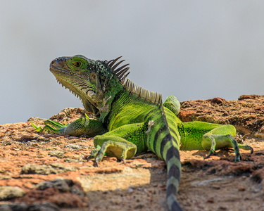 Iguana on the Walls