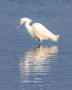 Searching Egret