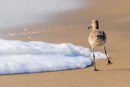 Stepping Sandpiper
