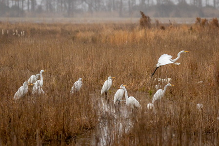 Crowd of Egrets #2
