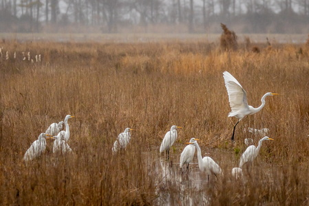 Crowd of Egrets