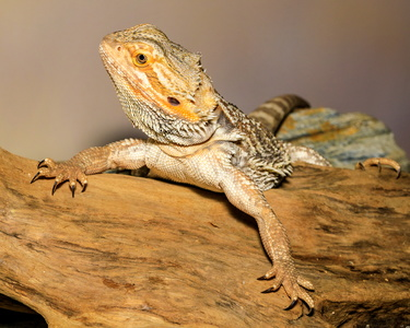 Bearded Dragon #2