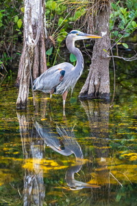 Great Blue Reflected