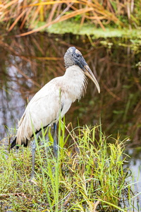 Wood Stork by the Water