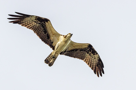 Osprey Flying #3