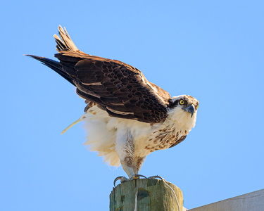 Wise Point Osprey #1