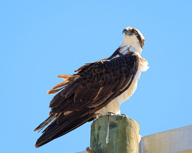 Wise Point Osprey #2