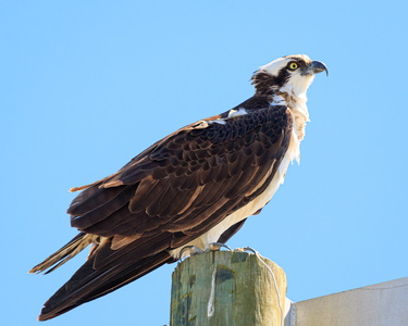 Wise Point Osprey #3