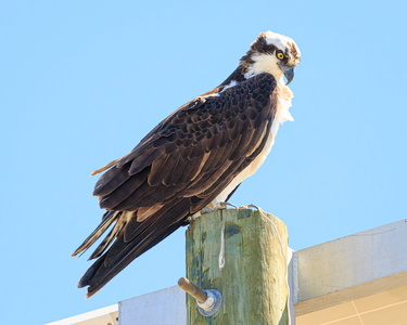 Wise Point Osprey #4
