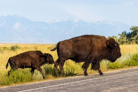 Bison Crossing #2