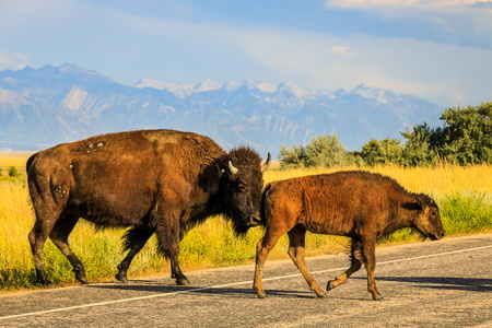 Bison Crossing #1