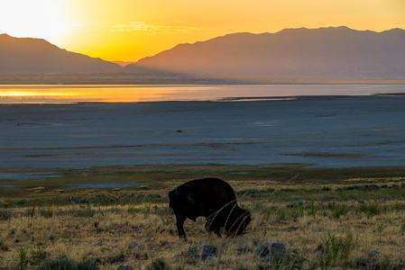 Bison at Sunrise #1