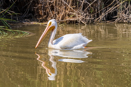 Bear River Pelican #2