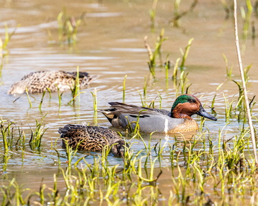 Green Winged Teal #11