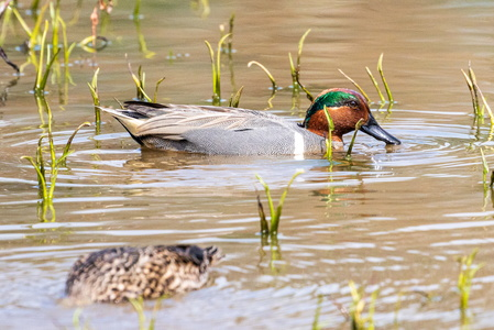Green Winged Teal #12