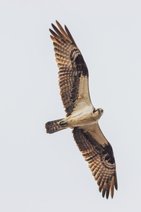Osprey in Flight#4