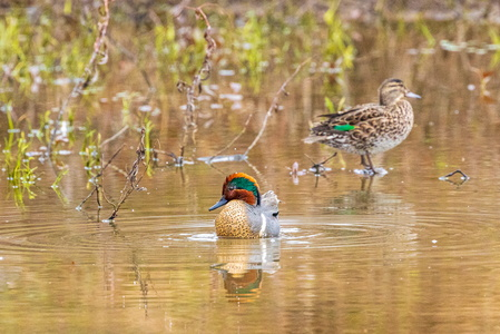 Green Winged Teal #10