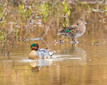 Green Winged Teal #9