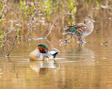 Green Winged Teal #8