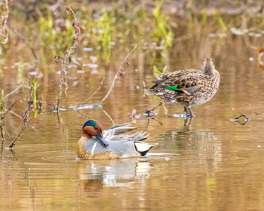 Green Winged Teal #7