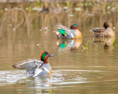 Green Winged Teal #5